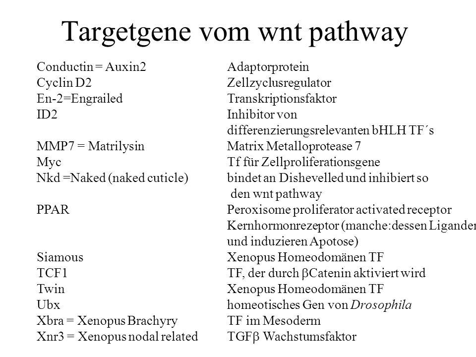 Targetgene vom wnt pathway