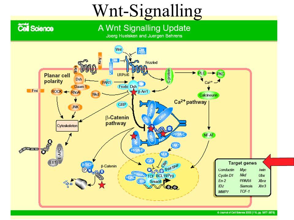 Wnt-Signalling