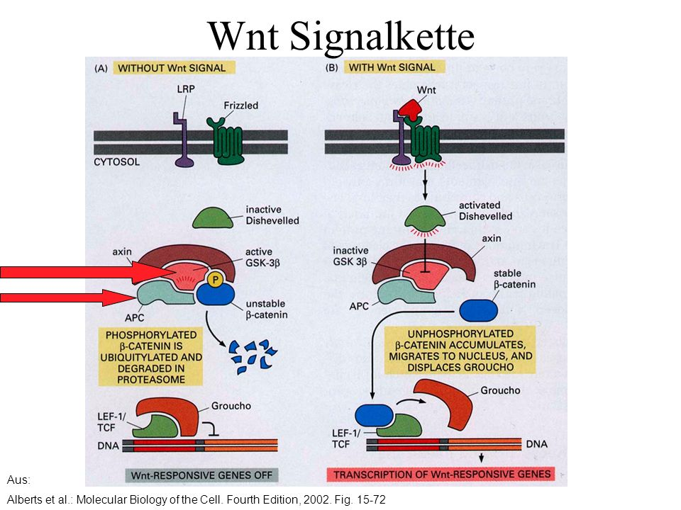 Wnt Signalkette Aus: Alberts et al.: Molecular Biology of the Cell.