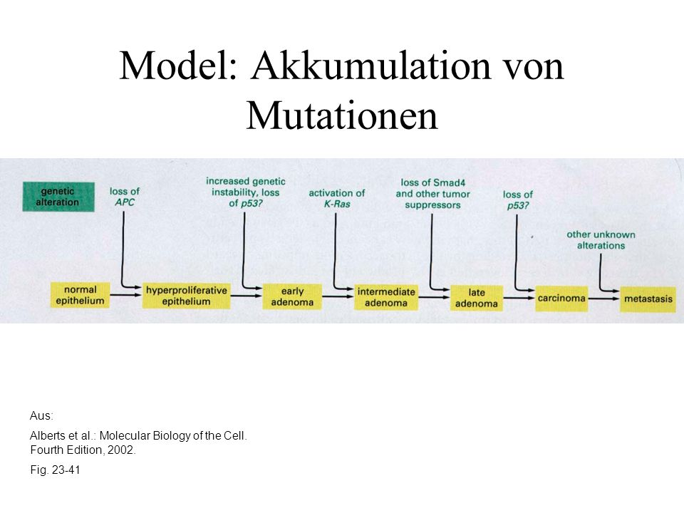 Model: Akkumulation von Mutationen