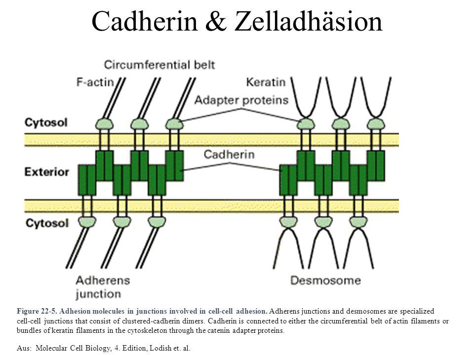 Cadherin & Zelladhäsion