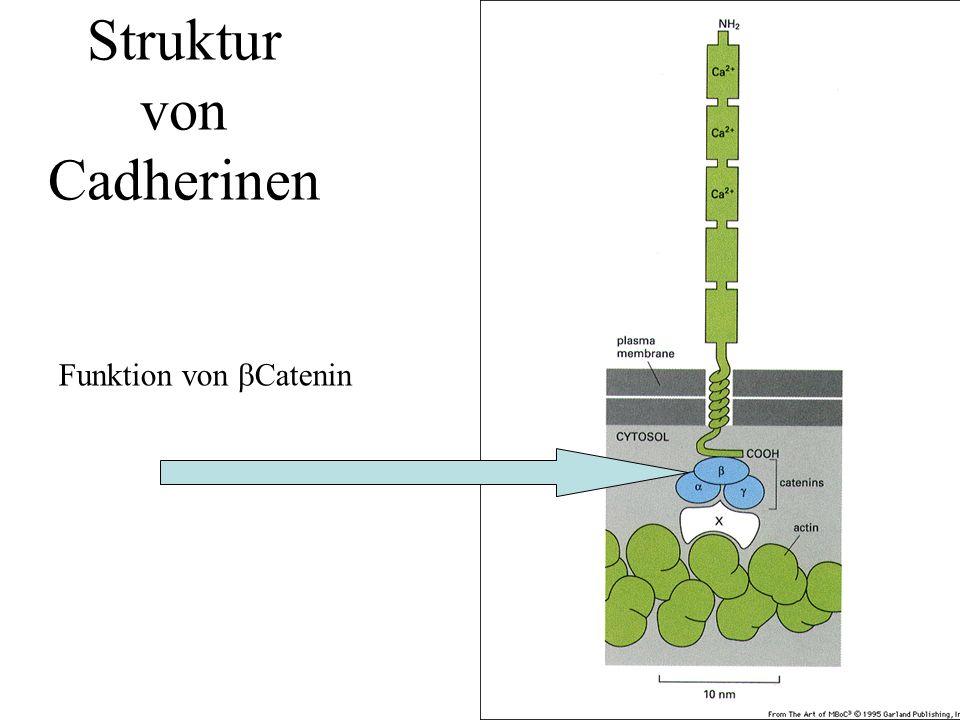 Struktur von Cadherinen