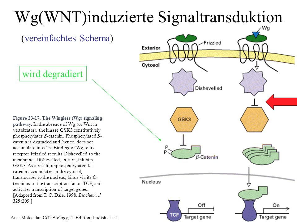 Wg(WNT)induzierte Signaltransduktion