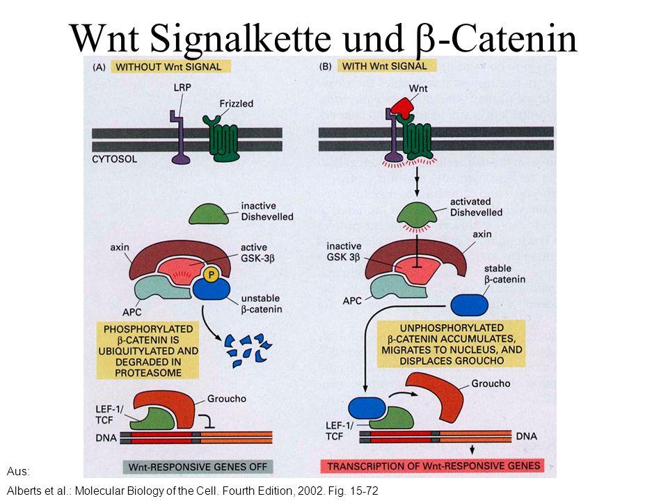 Wnt Signalkette und b-Catenin