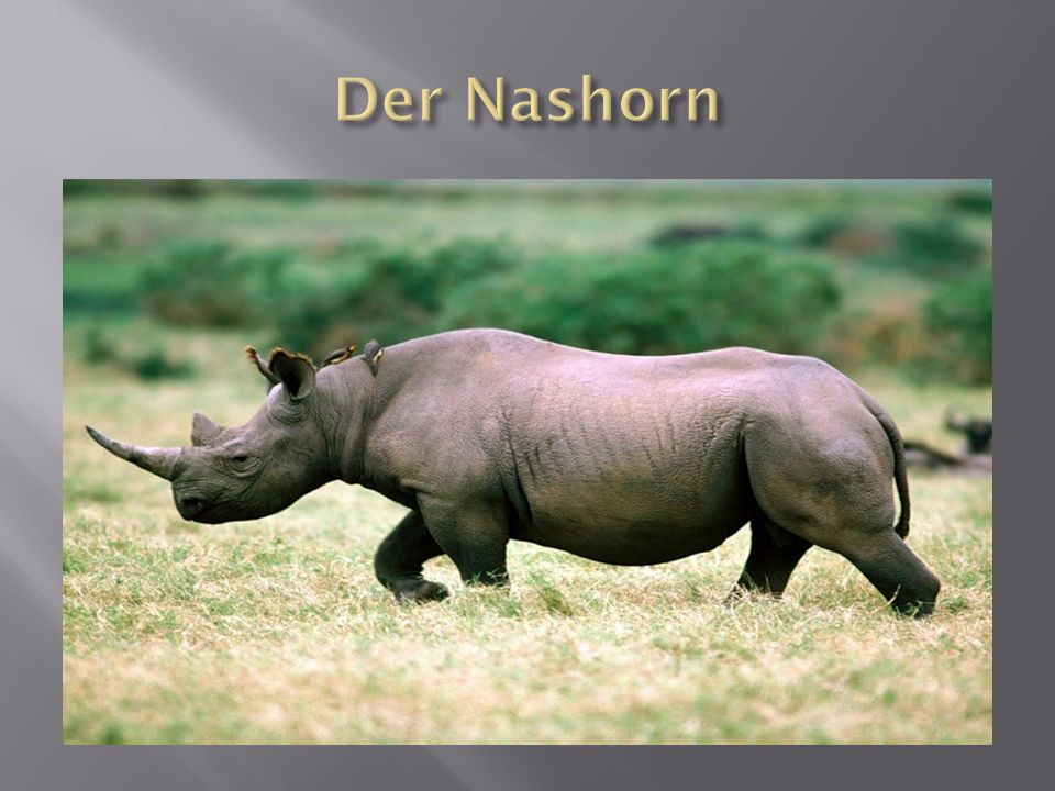 Der Nashorn