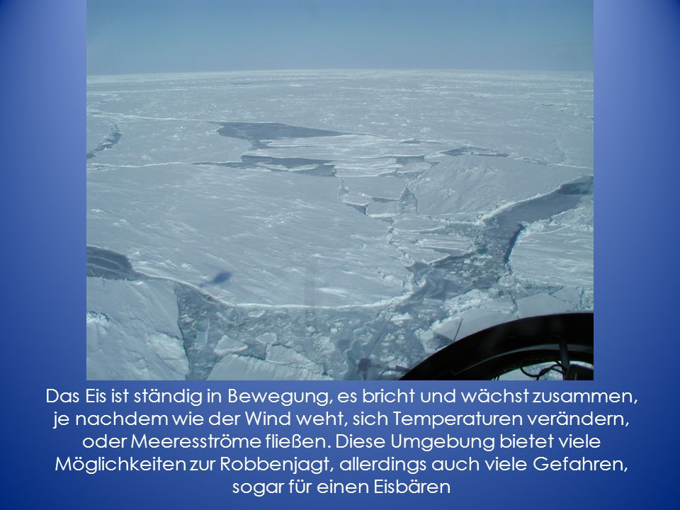 Sea ice is a mosaic of different ice thickness, age, floe size, and concentration. The temperature, currents, and wind move the ice, causing cracks to form and develop into leads, which may freeze again or create pressure ridges. Some ice survives the summer melt to become thick and stable platforms of multiyear ice. Depending on these characteristics, some ice has greater biological potential than other ice. Hence, polar bears are distributed in the Arctic relative to the nature of the sea ice.