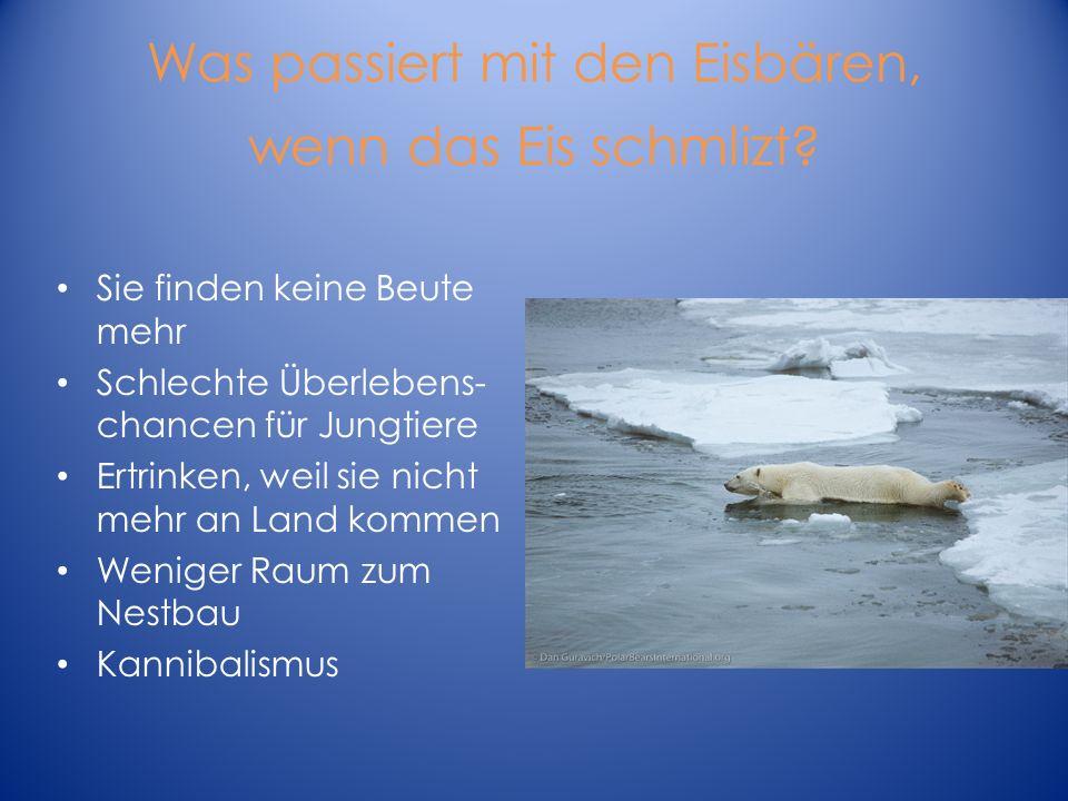 Was passiert mit den Eisbären, wenn das Eis schmlizt