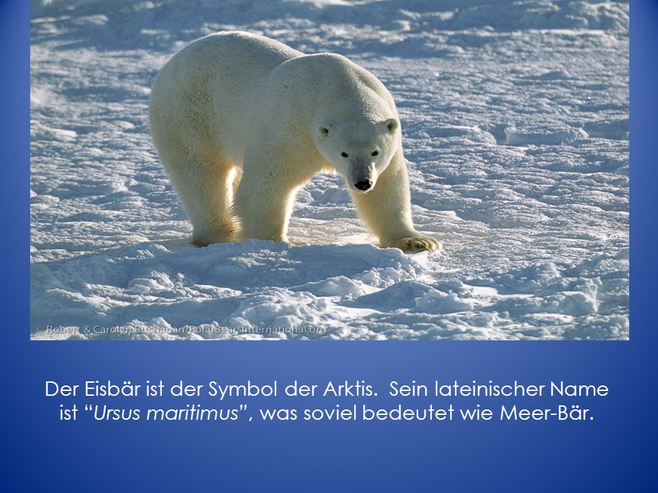 Polar bears are a highly visible species in the Arctic