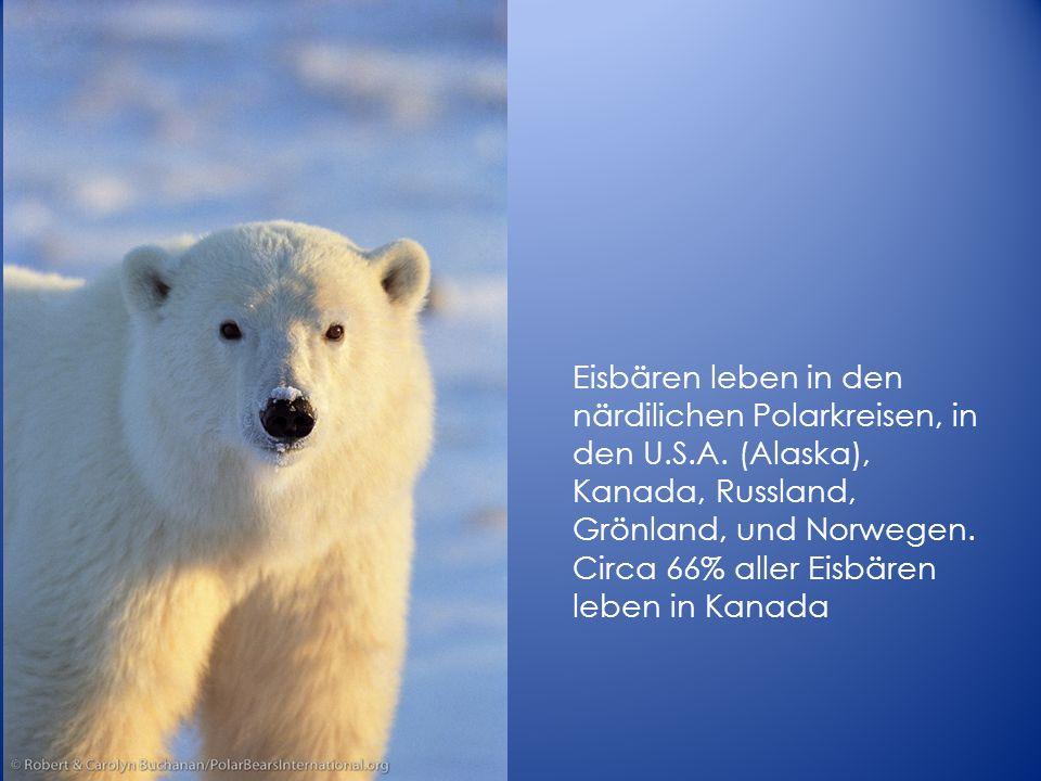 Eisbären leben in den närdilichen Polarkreisen, in den U. S. A