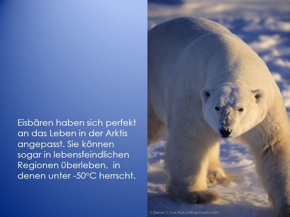Eisbären haben sich perfekt an das Leben in der Arktis angepasst