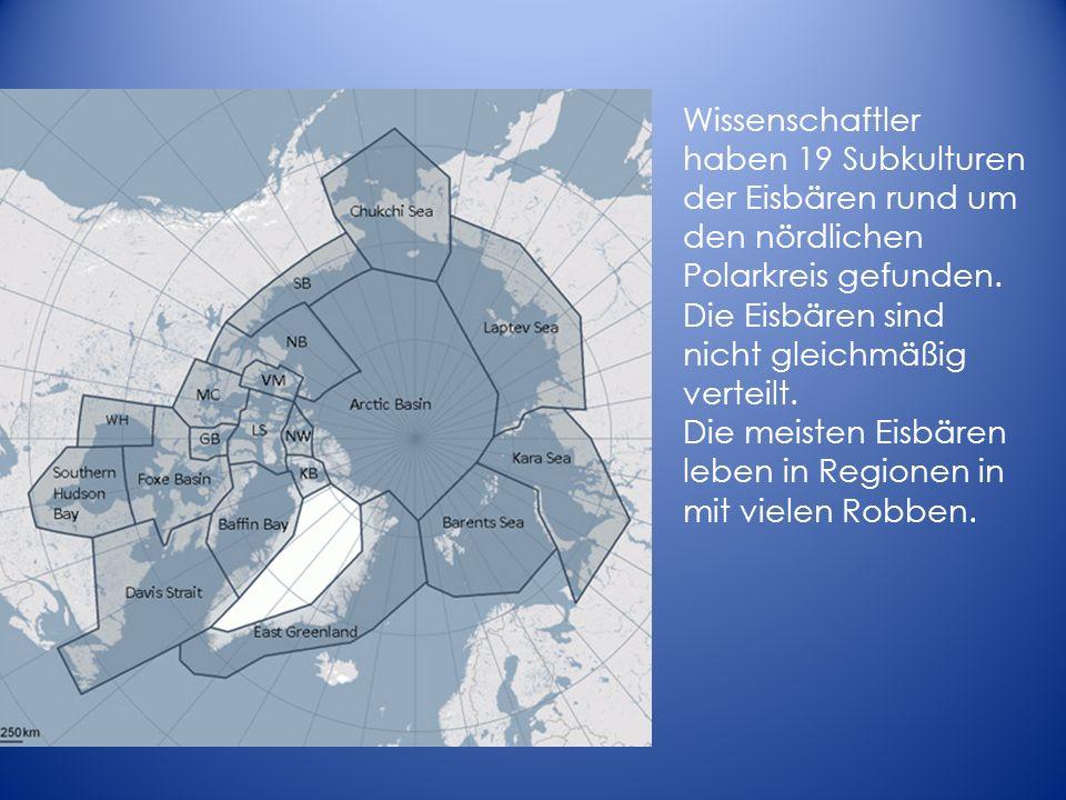 Die meisten Eisbären leben in Regionen in mit vielen Robben.