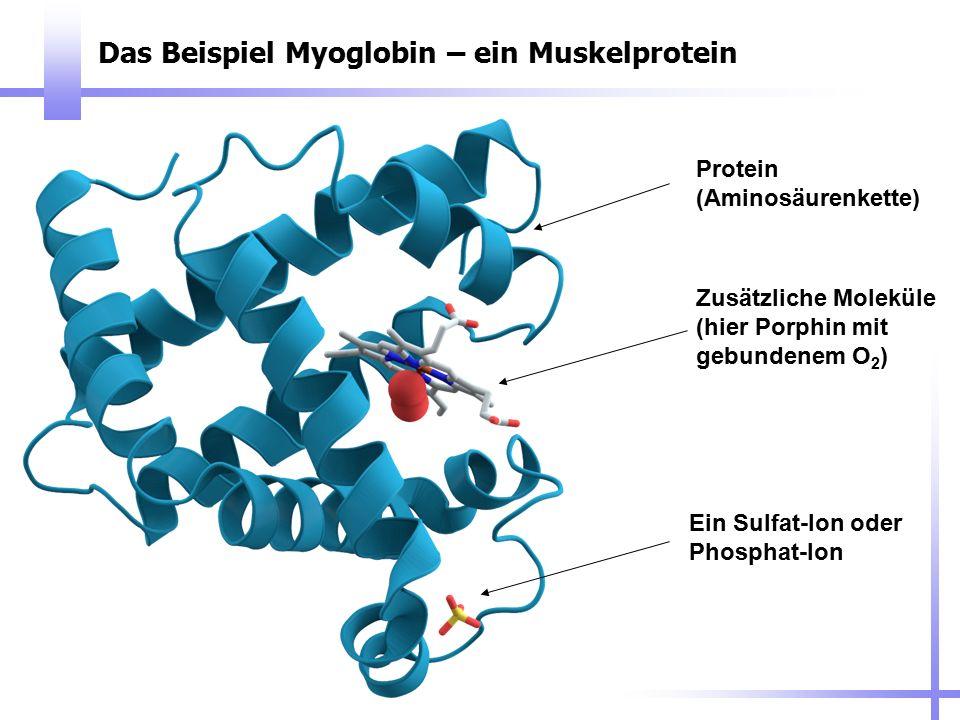 Das Beispiel Myoglobin – ein Muskelprotein