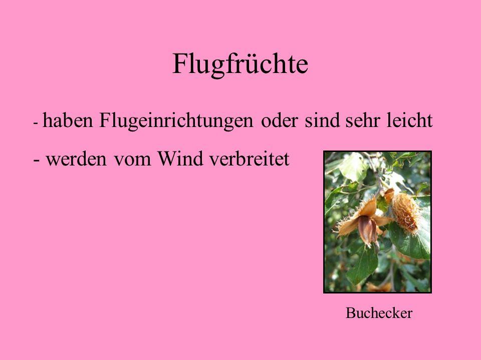 Flugfrüchte werden vom Wind verbreitet
