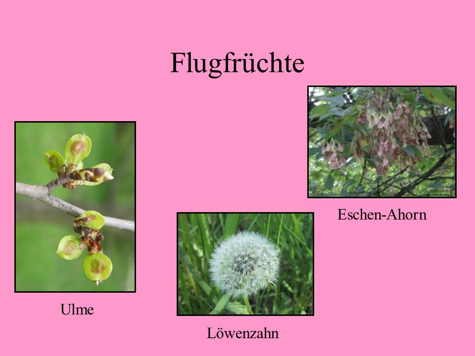 Flugfrüchte Eschen-Ahorn Ulme Löwenzahn