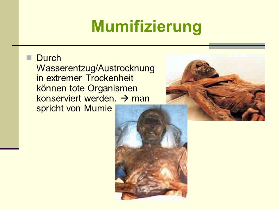 Mumifizierung Durch Wasserentzug/Austrocknung in extremer Trockenheit können tote Organismen konserviert werden.