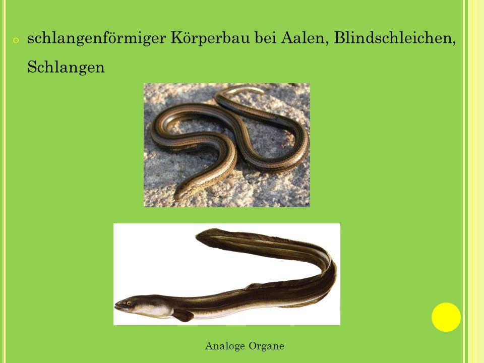 schlangenförmiger Körperbau bei Aalen, Blindschleichen, Schlangen