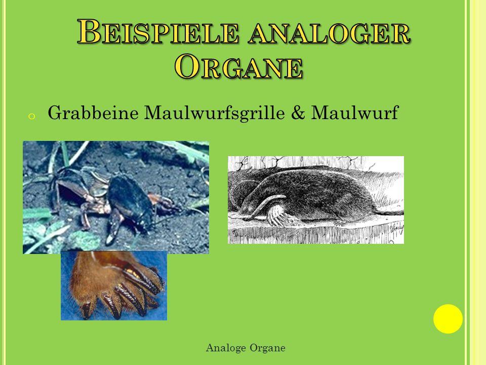 Organe Beispiele analoger Grabbeine Maulwurfsgrille & Maulwurf