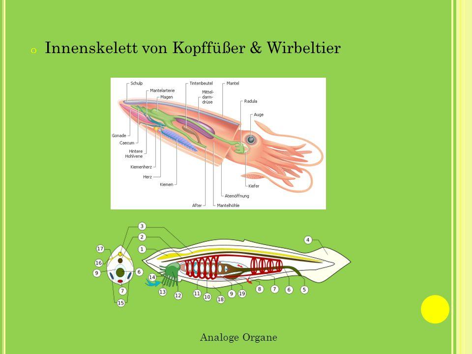 Innenskelett von Kopffüßer & Wirbeltier