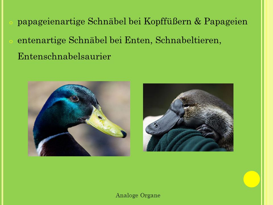 papageienartige Schnäbel bei Kopffüßern & Papageien