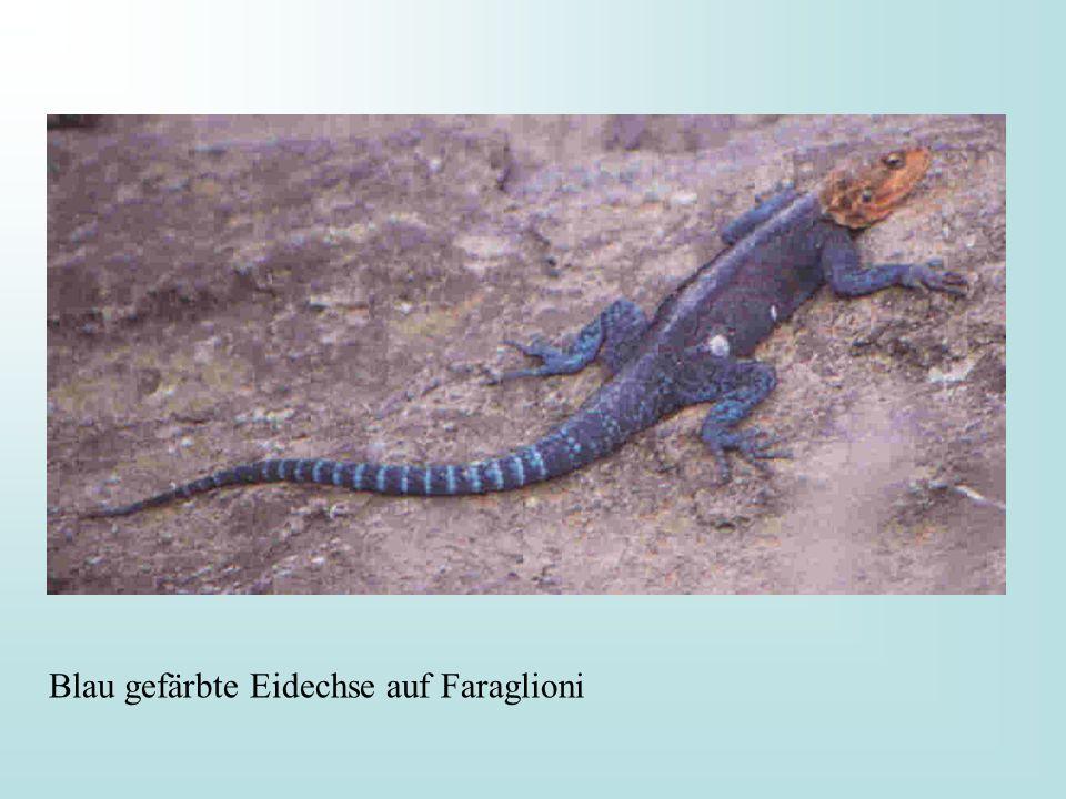 Blau gefärbte Eidechse auf Faraglioni