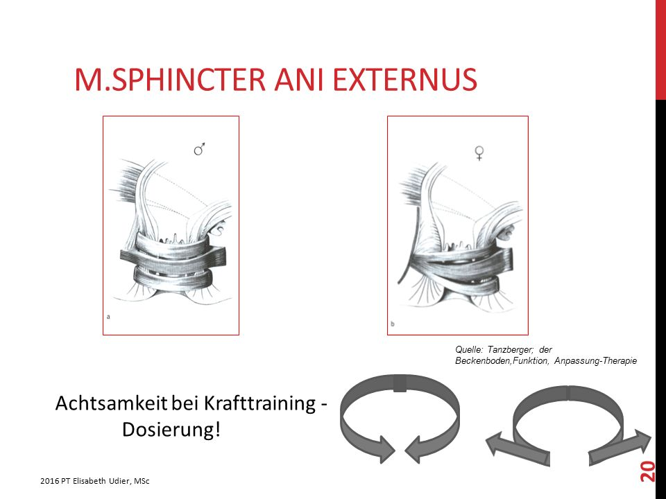 M.Sphincter ani externus