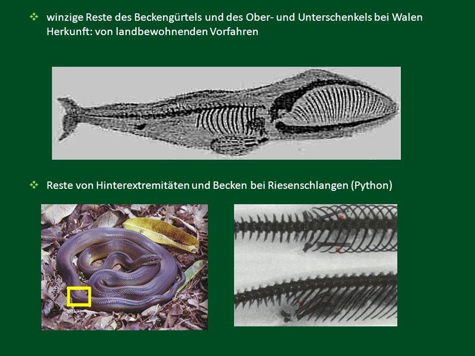 winzige Reste des Beckengürtels und des Ober- und Unterschenkels bei Walen Herkunft: von landbewohnenden Vorfahren