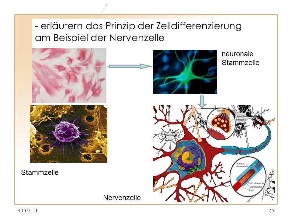 - erläutern das Prinzip der Zelldifferenzierung am Beispiel der Nervenzelle