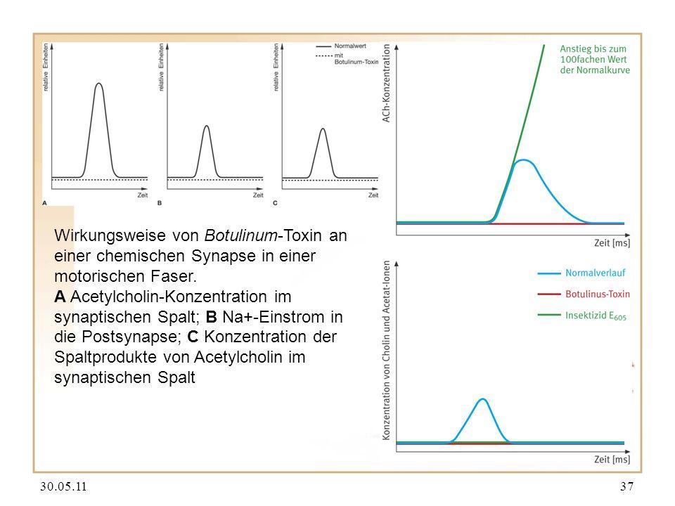 Wirkungsweise von Botulinum-Toxin an einer chemischen Synapse in einer motorischen Faser.
