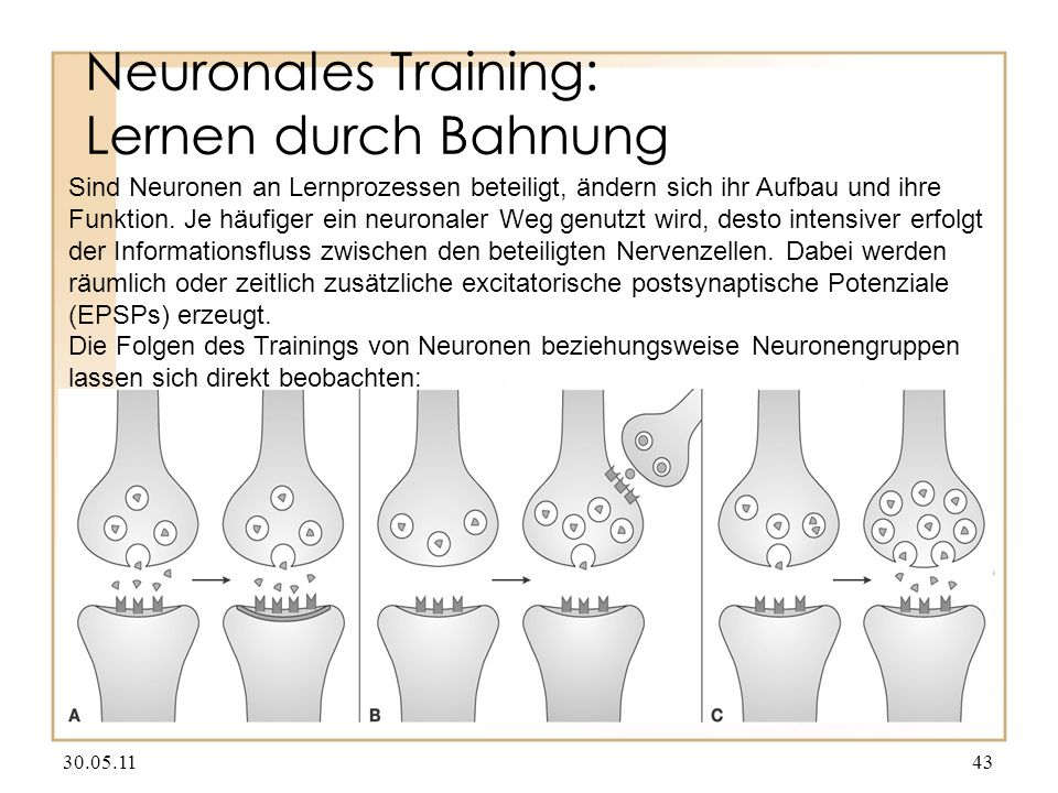 Neuronales Training: Lernen durch Bahnung