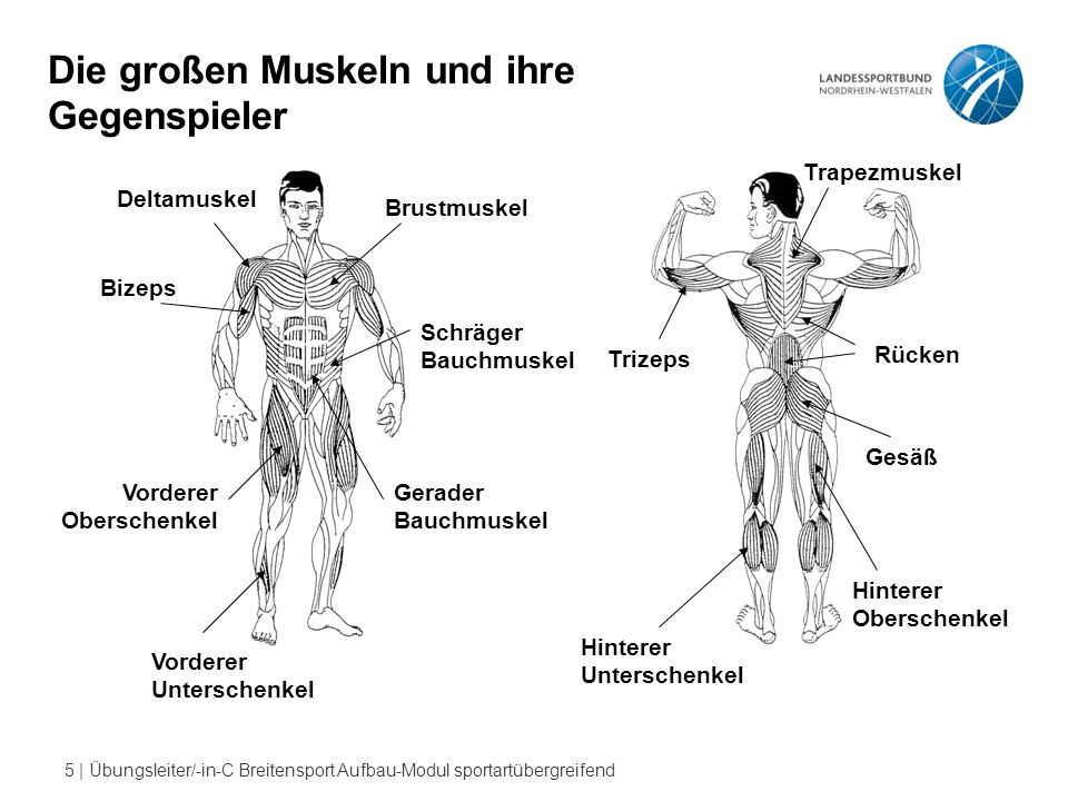Die großen Muskeln und ihre Gegenspieler