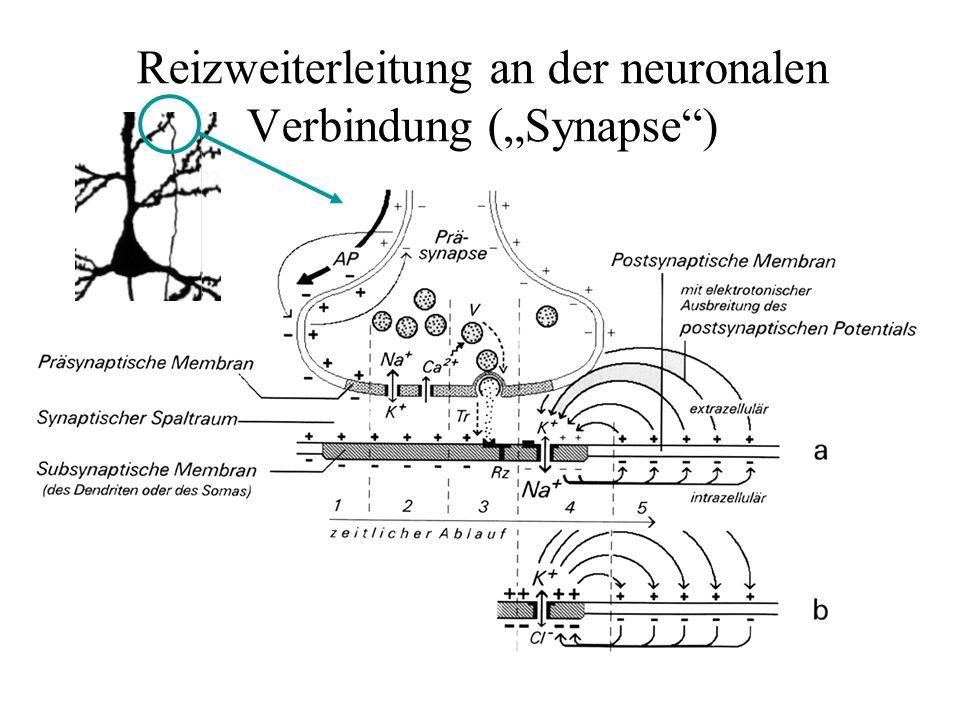 """Reizweiterleitung an der neuronalen Verbindung (""""Synapse )"""