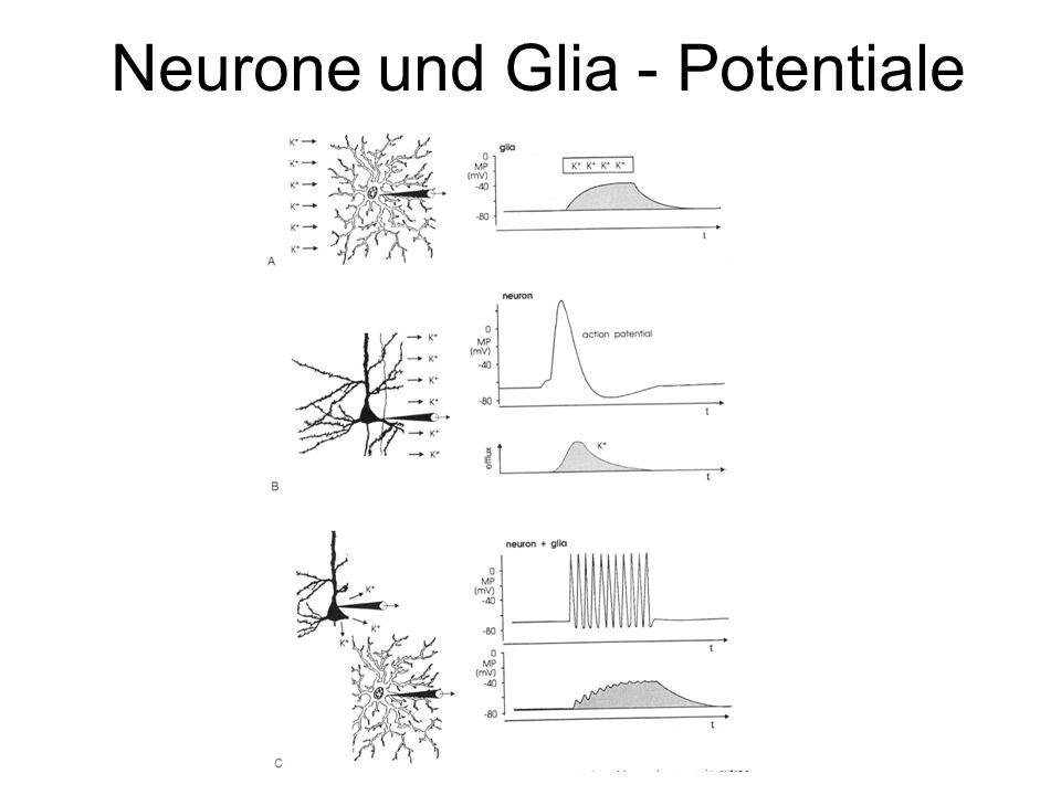 Neurone und Glia - Potentiale