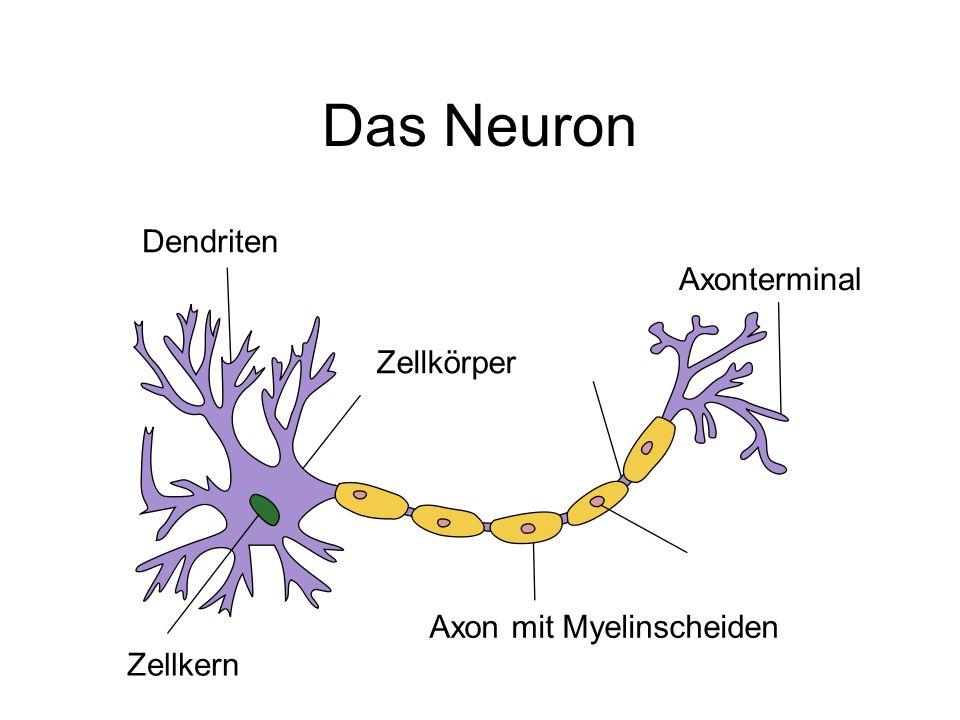 Das Neuron Dendriten Axonterminal Zellkörper Axon mit Myelinscheiden