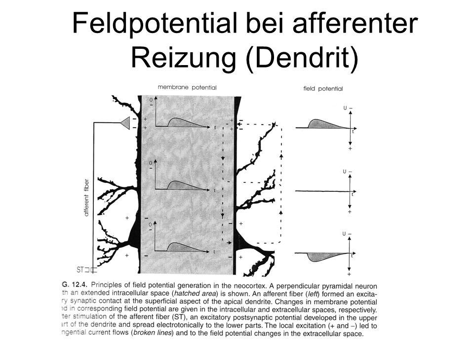 Feldpotential bei afferenter Reizung (Dendrit)