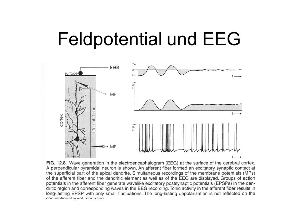 Feldpotential und EEG