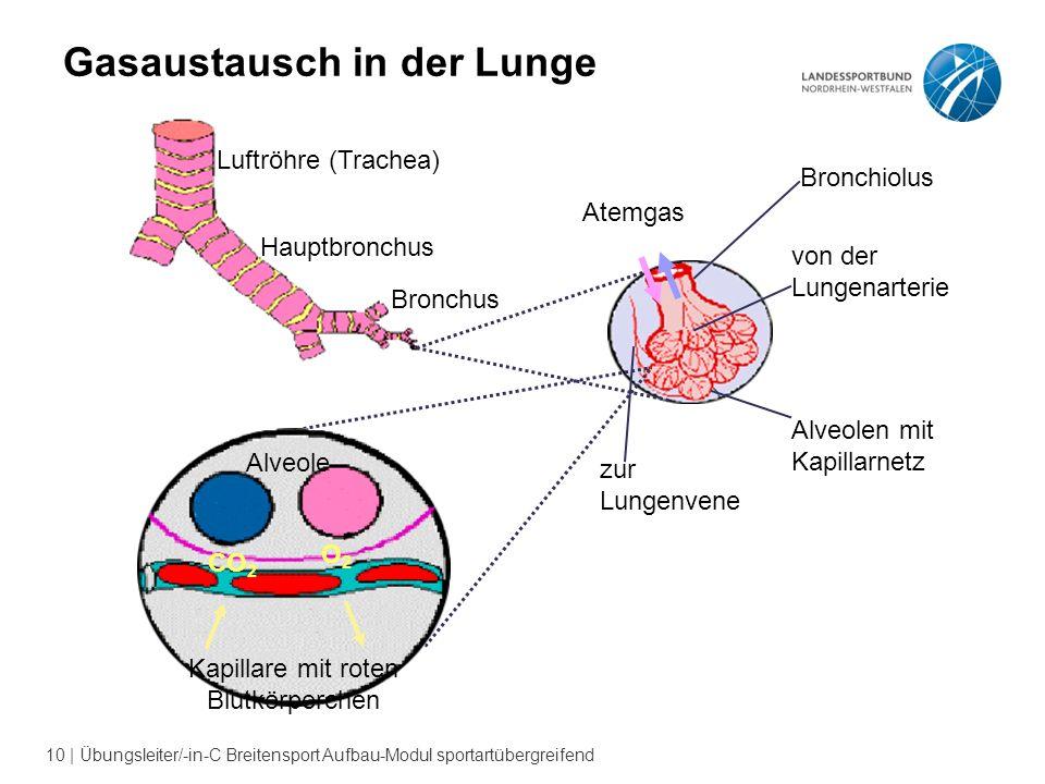 Gasaustausch in der Lunge