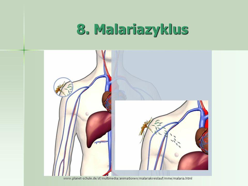 8. Malariazyklus