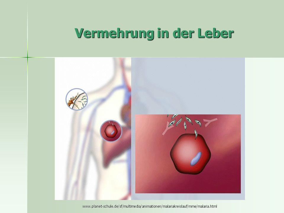 Vermehrung in der Leber