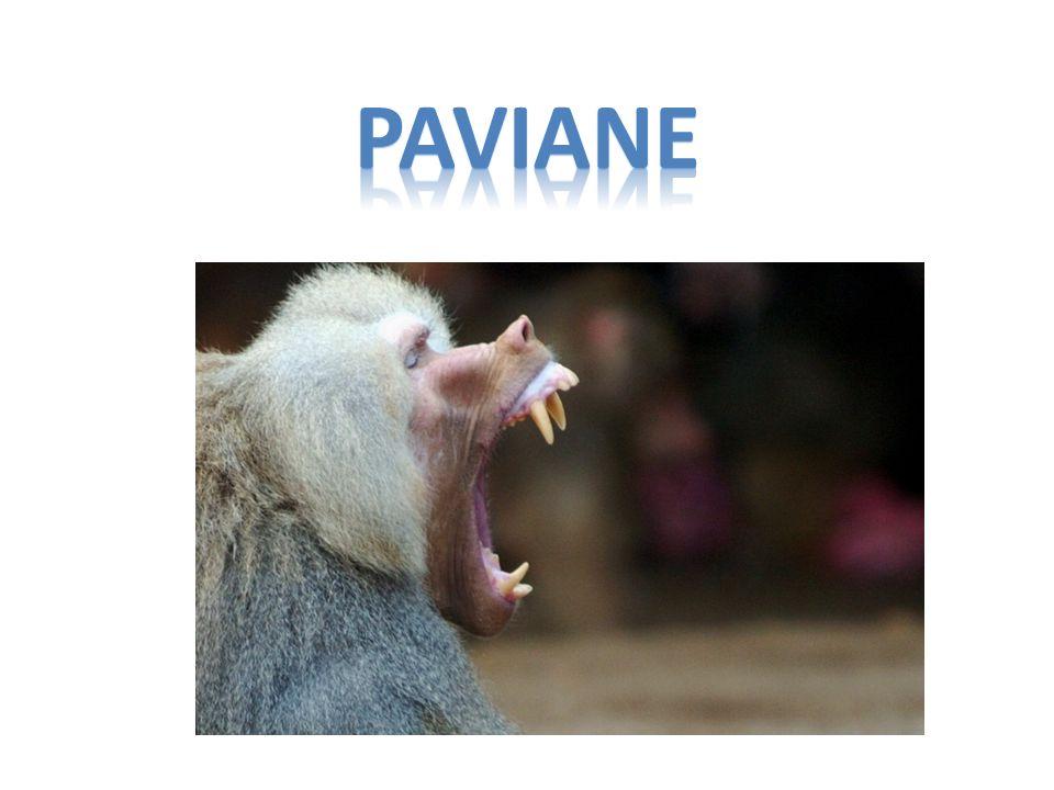 PAVIANE