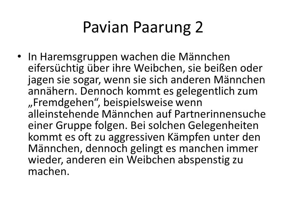 Pavian Paarung 2