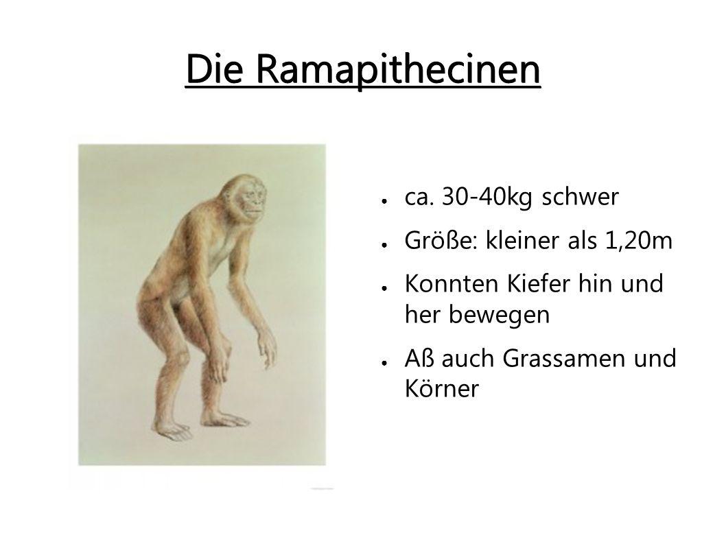 Die Ramapithecinen ca. 30-40kg schwer Größe: kleiner als 1,20m