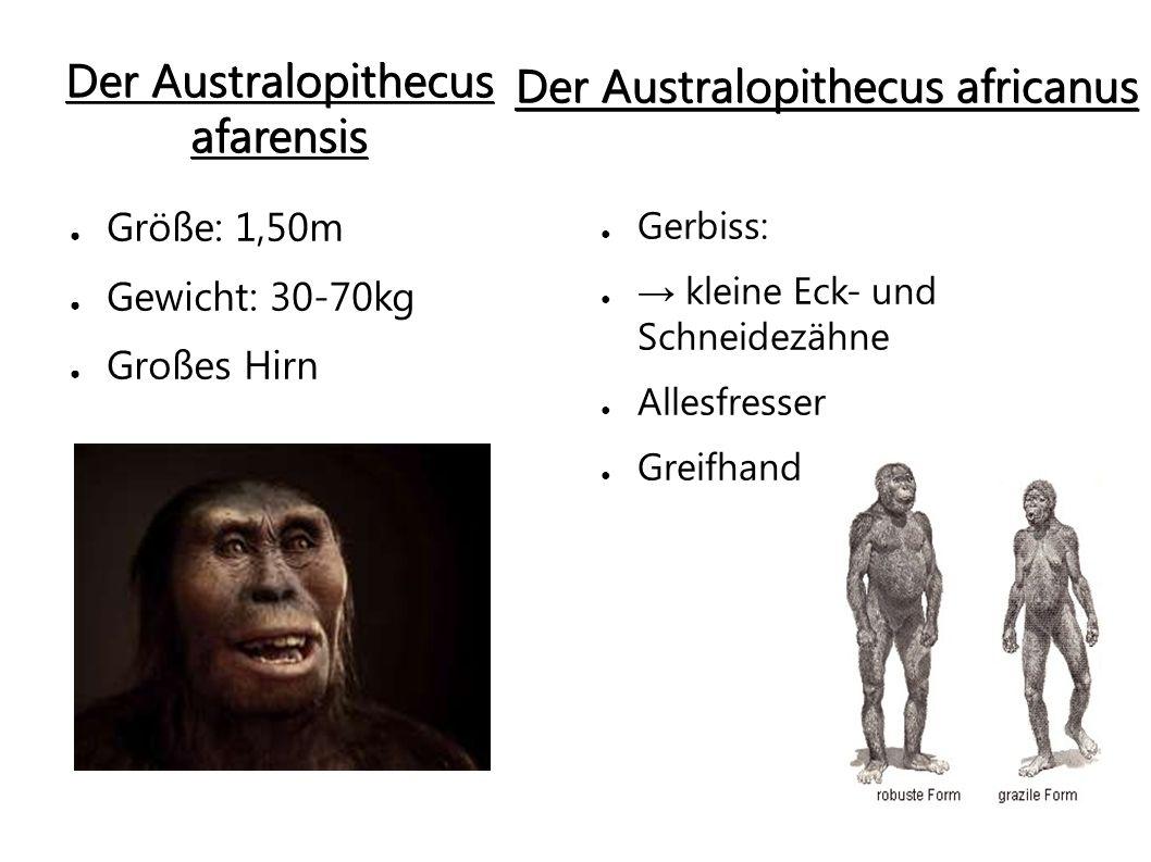 Der Australopithecus afarensis