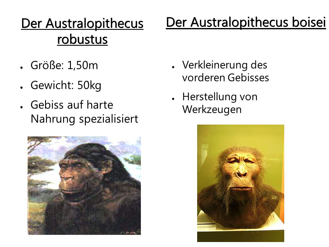 Der Australopithecus robustus