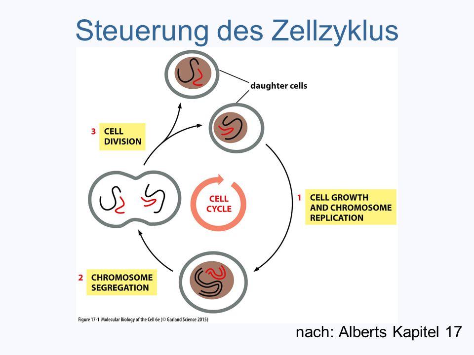 Steuerung des Zellzyklus