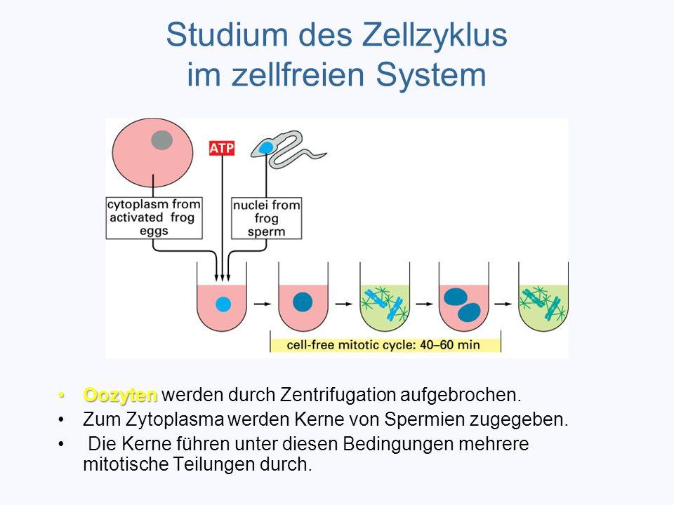 Studium des Zellzyklus im zellfreien System