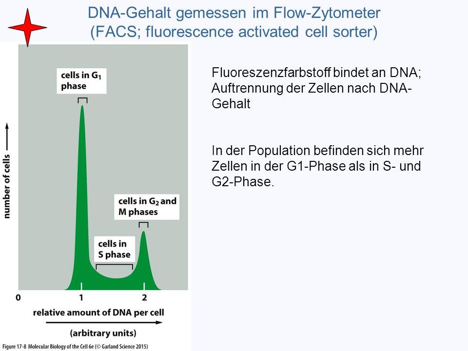 DNA-Gehalt gemessen im Flow-Zytometer (FACS; fluorescence activated cell sorter)