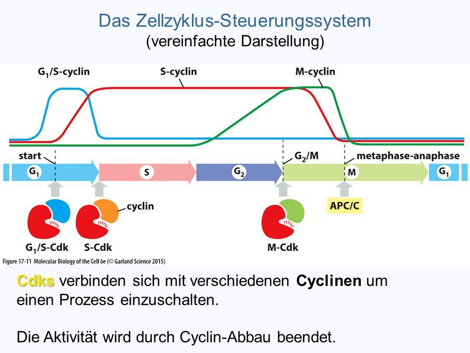 Das Zellzyklus-Steuerungssystem