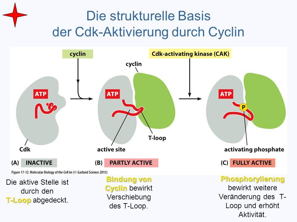 Die strukturelle Basis der Cdk-Aktivierung durch Cyclin