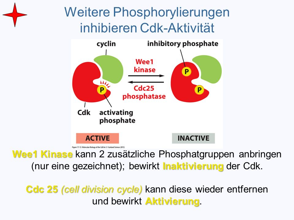 Weitere Phosphorylierungen inhibieren Cdk-Aktivität