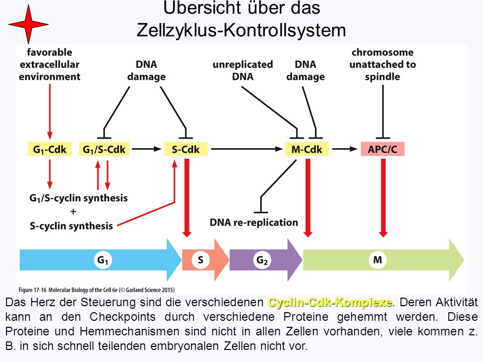 Übersicht über das Zellzyklus-Kontrollsystem